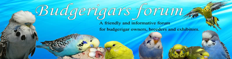 Budgerigars Forum